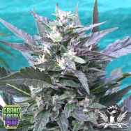 GrandDaddy Purple Seeds Bay Lotus